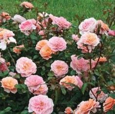 Apricot Drift Roses are a new and improved rose variety. The Apricot Drift Rose is an easy to grow, disease resistant beauty that blooms from spring until frost. Shop our online garden center! Planting Roses, Flower Garden, Flowers, Rose Garden, Drift Roses, Fast Growing Trees, Ground Cover Roses, Plants, Growing Roses