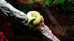 Snake, Morelia, Snakes