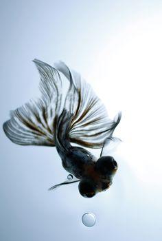 【F】気泡と金魚の尻尾の揺らぎでそこに水があることが分かる。水は透明なので写真等で色々面白い表現ができそう