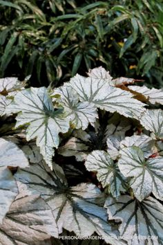 #Silver #Foliage #Begonia sigh...... Foliage Plants, White Gardens, Begonia, Plant Leaves, Silver, English Gardens, Bliss, Grey, Plants