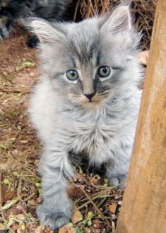 Maine Coon kitten- Blue Ace