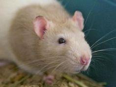 RATATOUILLE is an adoptable Rat Rat in Boston, MA.