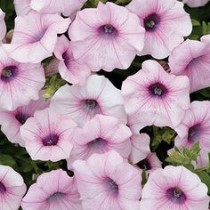 Earlier and more weather-resistant, this mounding, spreading Petunia gives you 2 weeks or more of extra blooms!