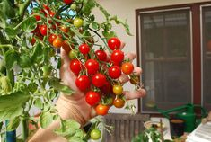 'Sweet 100' cherry tomatoes are delicious and prolific.