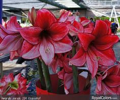 Enjoy your day!  #Amaryllis   #Hippeastrum   #royalcolors #Floral #Flower #Bloom #Beautiful #Amazing #bulbs #keukenhof #Netherlands   #амариллис   #アマリリス   #孤挺花   #amarilis  royalcolors.com  #flowers