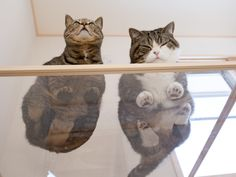 maru and hana cat - Google Search