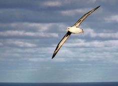 Laysan Albatross by Hob Osterlund Southern Illinois, Journey, Birds, Clouds, Google Search, Bird, The Journey, Cloud