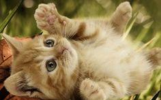 Red wallpaper Kätzchen liegend auf Tarva und lässt die Katze