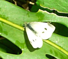 White Cabbage Butterfly...lays eggs on kale, broccoli, cauliflower ..these hatch into green worms that eat holes in leaves