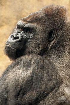 Gorila by on Beautiful Creatures, Animals Beautiful, Los Primates, Regard Animal, Gorillas In The Mist, Animals And Pets, Cute Animals, Silverback Gorilla, Tattoo Ideas