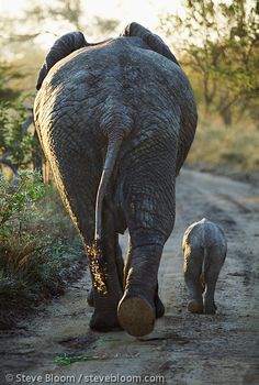 African elephant and calf seen from behind, Kapama, South Africa. Steve Bloom Images