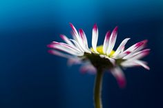 sapphire1707:  Daisy, close up by !.Keesssss.! on Flickr.