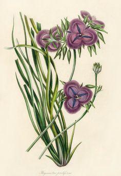 Paxton Australian Magazine Botany 1834....Thysanotus proliferus