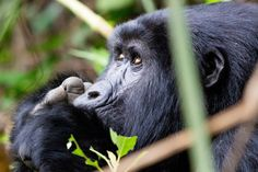 """""""The Gorilla in Thought"""" by Alok Juneja: A two hour walk through the dense impenetrable forest - Bwindi (Uganda), awaits a breathtaking encounter with the mountain gorillas. We tracked the Nshongi family of 10 with a new born! Time stops when we observe our long lost cousins in their natural habitat."""