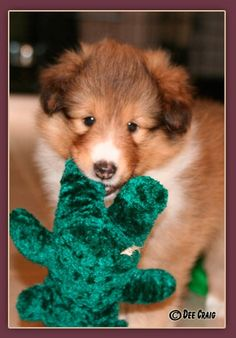 Cute Sheltie pup with his favorite toy