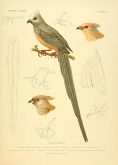 Avium Genera / - Biodiversity Heritage Library