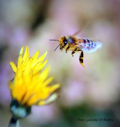 Bee in search of nectar Photo by Gaetano D'andrea