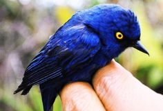 The deep-blue flowerpiercer, one of the tropical bird species studied, lives in Andean montane forests