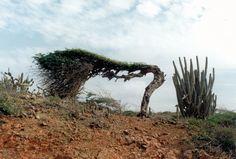 Dividivi on aruba ◆Aruba - Wikipedia http://nl.wikipedia.org/wiki/Aruba #Aruba