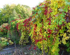 i trädgården - klätterväxter, vildvin, höst itradgarden.se