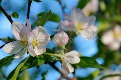7 background green spring apple flower