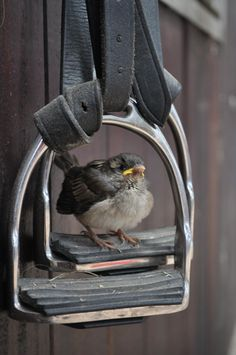 Young House Sparrow pondering life from his horse stirrup 'swing' set ;) Adorable!!