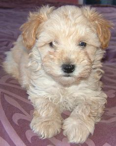 animals schnoodle puppy schnoodle charlie puppy envy forward schnoodle