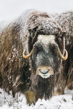 Muskox with snow covered quviut stands on the snowy tundra of Alaska's arctic north slope. Wildlife Photography, Animal Photography, Wedding Photography, Alaska, Musk Ox, Arctic Animals, Fat Animals, Winter Magic, Tier Fotos