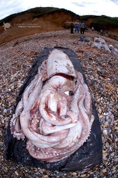 30-foot squid washes up on the shores of Spain.
