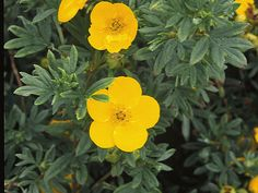 Rugged and beautiful,  potentilla  is a plant-it-and-forget-it shrub. Butterflies love the gold flowers, which open from early summer to fall frost. Deer ignore this shrub. The one thing potentilla needs is well-drained soil. Plants are drought-tolerant once established. Pruning is rarely needed and is best done in late winter. Hardy in Zones 2 to 8.