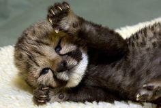 10 day old Cheetah cub Kiburi opens his eyes, San Diego Zoo Safari Park Animal Care Centre.