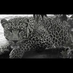 Lion & rhino park leopard in the rain black and white- Johannesburg south Africa Tasneem Photography