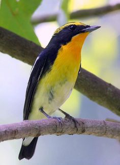 Male Narcissus Flycatcher :: Old World flycatcher :: east Asia