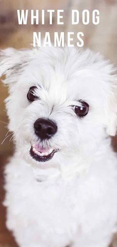 White dog names should be as special as your beautiful white dog. Find great ideas, inspiration and tips for white puppy names in this in-depth guide White Puppies, White Dogs, Puppy Names, Dog Names, Zoo Preschool, Jungle Nursery, Cute Names, Farm Art, Albino