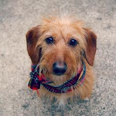 wired haired terrier -- I love scruffy dogs!