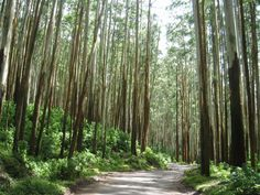 Eucalyptus Forest - Ooty, India