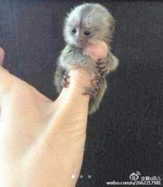 omg thumbs monkey tooo cute