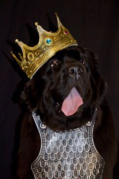 Notta Bear Newfoundlands Inka playing King ;) Halloween dog costume Cute Dog Halloween Costumes, Best Dog Costumes, Animal Costumes, Pet Costumes, Giant Dogs, Big Dogs, Large Dogs, Dog Photos, Dog Pictures