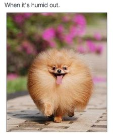 Dogs and puppies pomeranian animals 24 Trendy ideas Animals And Pets, Baby Animals, Funny Animals, Cute Animals, Cute Puppies, Cute Dogs, Dogs And Puppies, Doggies, Funny Dogs