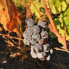 Harvest dew #gwcosingleferments #gwcoportezuelo #gwcocinsault16