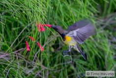 2016-01-30 Olive-backed Sunbird in Thailand