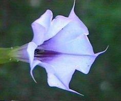 25 Violet Datura Moon Lily Seeds ~ Datura stramonium L. Beautiful Garden Flower #RainbowSeedsandSupplies