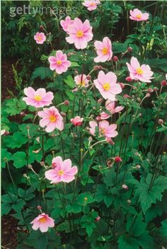 Anemone Hupehensis (common name Japanese Anemone)-grows anywhere and is easy to multiply