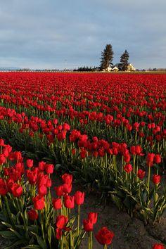 Rows of red tulips, Skagit Valley, Mount Vernon, Washington Spring Aesthetic, Orange Aesthetic, Nature Aesthetic, Flower Aesthetic, Flowers Nature, Beautiful Flowers, Exotic Flowers, Flowers Garden, Purple Flowers