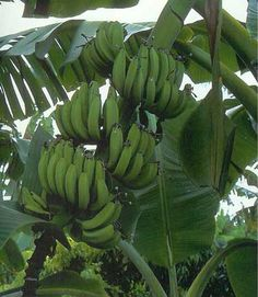 Banana Trees.....we have two edible varieties growing in the back yard.  The lady finger variety makes the best bananas!  They're small, but incredible!