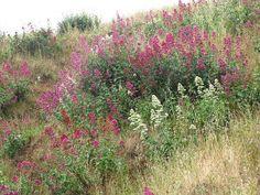 Centranthus Ruber, Red Valerian, Spanish Valerian, Spur Valerian, Jupiter's Beard, Kiss-me-quick, Pretty Betsy, Fox's Brush, German Lilac, red flowers, prink flowers, perennial plant