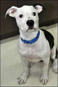Bobby: A 5MO Pit Mix puppeh. I love being silly. Being silly is fun!
