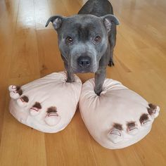 Poor pittie.  He has marshmallow fluff for feet.
