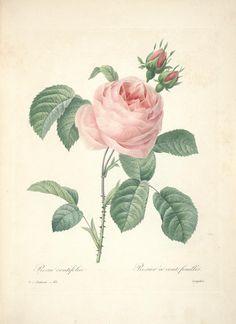 https://flic.kr/p/cXNLL7 | n89_w1150 | Choix des plus belles fleurs :. Paris :Ernest Panckoucke,[1833?].. biodiversitylibrary.org/page/12695490