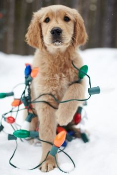 Puppy helping with the Christmas lights